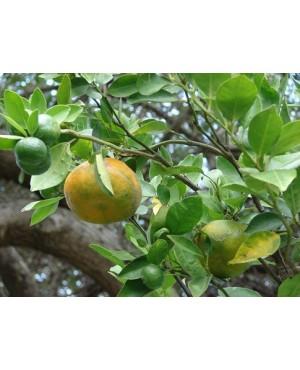 Citrus reticulate